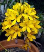 Buttonhole Orchid yellow Herbaceous Plant