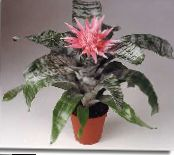 Silver Vase, Urn Plant, Queen of the Bromeliads pink