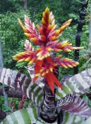 Silver Vase, Urn Plant, Queen of the Bromeliads red