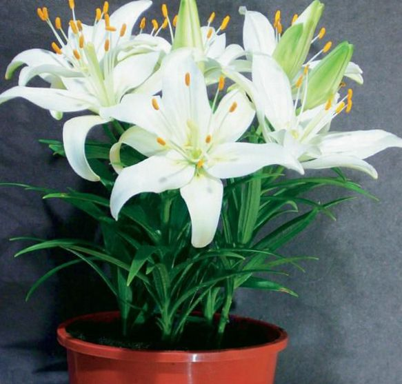 Лилия белая цветок комнатный