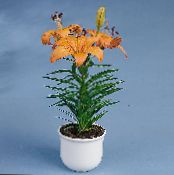 Lilium orange Herbeux
