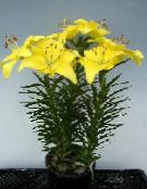 Lilium yellow Herbaceous Plant