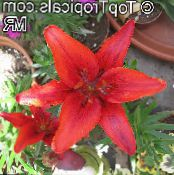 Lilium red Herbaceous Plant