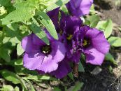 Texas Bluebell, Lisianthus, Tulip Gentian purple Herbaceous Plant