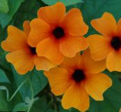 Black eye Susan orange Liana