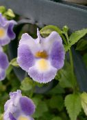 Wishbone flower, Ladys slipper, Blue wing lilac Hanging Plant