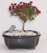 New Zealand tea tree red Shrub