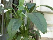 Peace lily white Herbaceous Plant