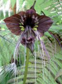 Bat Head Lily, Bat Flower, Devil Flower brown Herbaceous Plant