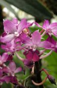 Calanthe pink Herbaceous Plant