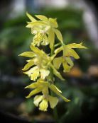 Pot Flowers Calanthe herbaceous plant photo yellow