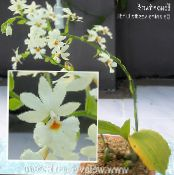 Calanthe white Herbaceous Plant