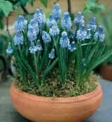 Grape Hyacinth light blue Herbaceous Plant