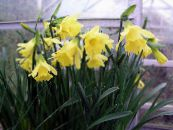 Daffodils, Daffy Down Dilly yellow Herbaceous Plant