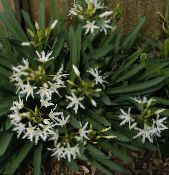 Sea Daffodil, Sea Lily, Sand Lily white Herbaceous Plant