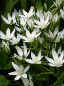 Drooping Star of Bethlehem white Herbaceous Plant