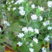Stevia, Sweet leaf of Paraguay, Sweet-herb, Honey yerba, Honeyleaf, Candy leaf white Herbaceous Plant