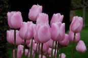 Tulip pink Herbaceous Plant
