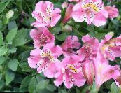 Peruvian Lily pink Herbaceous Plant