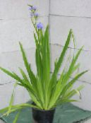 Blue Corn lily light blue Herbaceous Plant