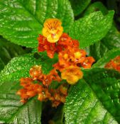 Chrysothemis red Herbaceous Plant