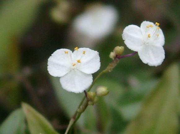 Pot blomster tahitisk brudesl r urteaktig plante gibasis for Plante western
