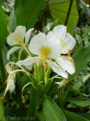 Hedychium, Butterfly Ginger white Herbaceous Plant