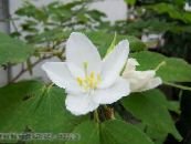 Pot Flowers Orchid Tree, Bauhinia photo white