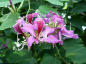 Pot Flowers Orchid Tree, Bauhinia photo lilac