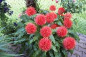 Paint Brush, Blood Lily, Sea Egg, Powder Puff red Herbaceous Plant