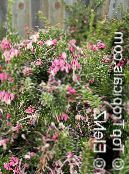 Pot Flowers Grevillea shrub, Grevillea sp. photo pink