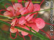 Pot Flowers Grevillea shrub, Grevillea sp. photo red