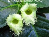 Pot Flowers Alsobia hanging plant photo green