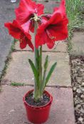Amaryllis red Herbaceous Plant