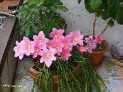 Rain Lily,  pink Herbaceous Plant