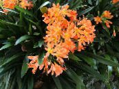 Bush Lily, Boslelie orange Herbaceous Plant