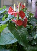Flamingo Flower, Heart Flower red Herbaceous Plant