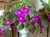 Magic Flower, Nut Orchid lilac Hanging Plant