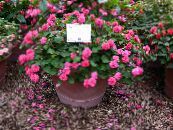Pot Flowers Patience Plant, Balsam, Jewel Weed, Busy Lizzie, Impatiens photo pink