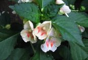 Pot Flowers Patience Plant, Balsam, Jewel Weed, Busy Lizzie, Impatiens photo white