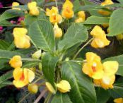 Pot Flowers Patience Plant, Balsam, Jewel Weed, Busy Lizzie, Impatiens photo yellow