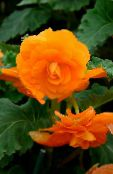 Begonia orange Herbaceous Plant