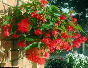 Begonia red Herbaceous Plant