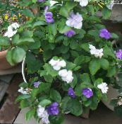 Brunfelsia, Yesterday-Today-Tomorrow white Shrub