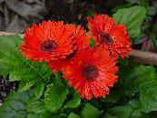 Transvaal Daisy red Herbaceous Plant