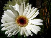 Transvaal Daisy white Herbaceous Plant