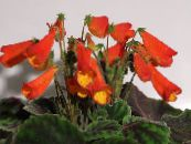Smithiantha red Herbaceous Plant