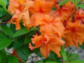 Azaleas, Pinxterbloom orange Shrub