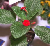 Episcia red Herbaceous Plant