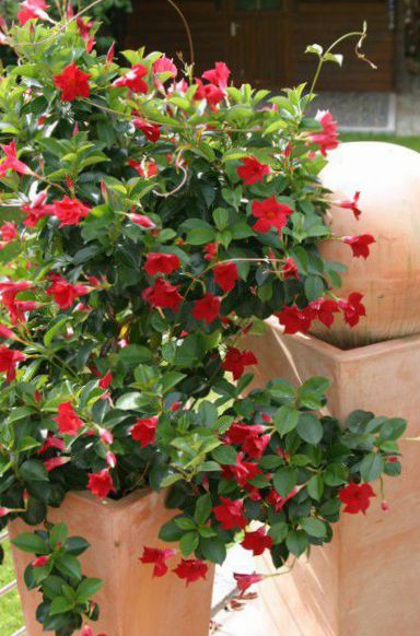 pot flowers dipladenia mandevilla hanging plant photo red. Black Bedroom Furniture Sets. Home Design Ideas